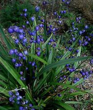 Dianella  CASSA BLUE . Unusual Evergreen Perennial Plant. 9cm pot