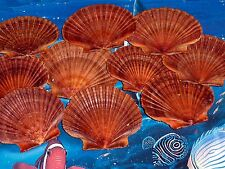 TEN (10) MEXICAN FLAT SCALLOP SEA SHELLS BEACH  DECOR NAUTICAL CRAFT TROPICAL