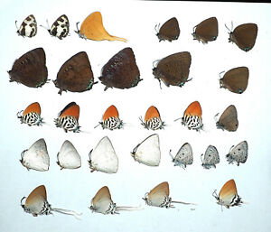 Lycaenidae mix, 28 from West Kalimantan. (16)