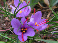 Taylors Sativus Autumn Flowering Crocus Bulbs