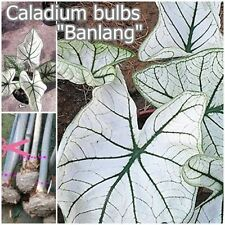 Caladium Bulb Queen of the Leafy Plant ''Banlung'' Colourful Tropical From Thai