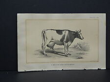 Cows Bulls Cattle Dairy Farming 1888 Engraving #035 Belgian Cow - Dutch Breed
