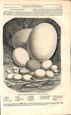 Oeufs de Poule Autruche Casoar Cygne Pigeon Aigle Vautour Pingouin GRAVURE 1851