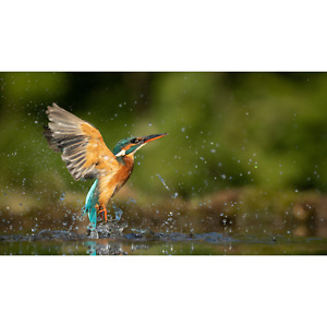 Kingfisher Emerging From Water Framed Canvas Photo Print Wall Picture Decor