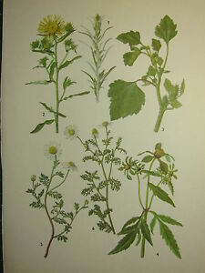 Vintage Botanique Botany Imprimé ~ Bois Cudweed Cocklebur Camomille Mayweed