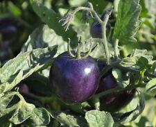 Indigo Rose PURPLE / BLUE TOMATO Organic 25 NON-GMO seeds High Anthocyanin