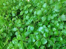 + 300 seed peperomia pellucida Pansit - pansitan shiny bush Peperomia pellucida
