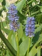 75 Teichpflanzen+ Seerose Jetzt Kaufen im Frühjahr ab April wird geliefert.