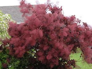 Smoke Tree - Cotinus corrygria - 30 Seeds - Purple Foliage and Smoke-like Blooms