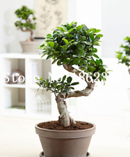 15 Pcs Seeds Fig Bonsai Potted Delicious Fruit Plants Tree Ficus Carica Garden X