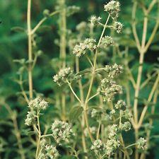 Herb Seeds - Marjoram Sweet - 3500 Seeds