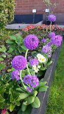 Primula Denticulata (Drumstick Primula) x 7 Perennial Plug Plants