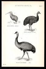 Struthiones 1887 casuarius apteryx EMU Birds Vittoriano litografia #2