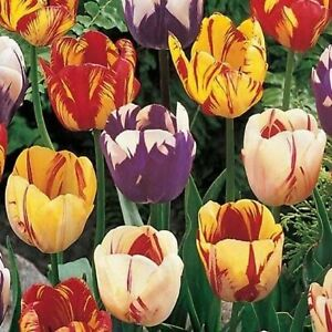 Tulip Bulbs, Rembrandt Mixed Tulip Flower Bulbs , Fall Planting for Spring Bloom