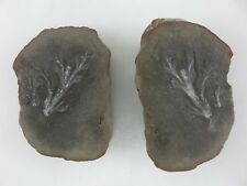 """Fossilized Plant In Rock 3.5"""" x 2.5"""" Wide"""