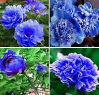 Elegant Blue Peony Flower 12 Seeds Home Garden Potted Plants Red Peony Summer