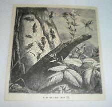 1878 magazine engraving ~ Earwigs