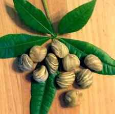 Money Tree/Pachira Aquatica 10 seeds/$15