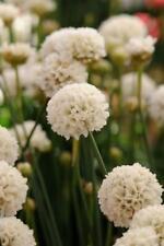 Armeria Pseudarmeria 'Ballerina White' Perennial (LARGE) Plug Plants Pack x6