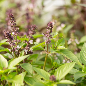 Cinnamon Basil Seeds   Basilicum Pot Herb Garden Ornamental Mexican Flower 2022