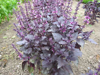 NEW! 2,000 seeds Red holy basil Ocimum sanctum herb Planting SeedsThailand