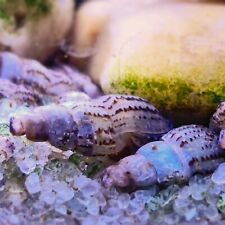 12+ Malaysian Trumpet Snails, Freshwater Aquarium, Great for Planted Tanks