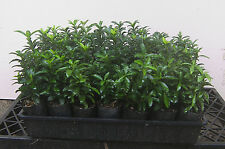 TRAYS OF FORTY TWO  EUONYMOUS JAPONICA MICROPHYLLUS 'TOM THUMB' TUBES
