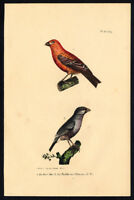 Antique Print-PINE GROSBEAK-JAVA SPARROW-PLATE 43 BIS-Buffon-Lejeune-1828
