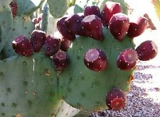 Prickly Pear 50 Seeds Opuntia Engelmannii lindheimeri 'Sequin' 15°F Cold Hardy