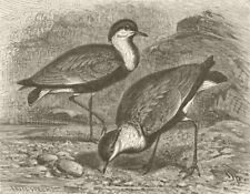 BIRDS. Egyptian spur-winged lapwing 1895 old antique vintage print picture