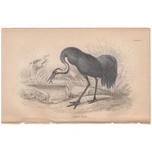 Jardine/Lizars antique hand-colored engraving bird print Pl 9 Common Crane