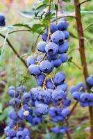 4 Blueberry Fruits Plants Legacy Northern Highbush Four Plant Fruit Garden