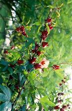 Thai Roselle Seeds/Hibiscus Sabdariffa/Jamaican Sorel/Rosella Fruit/Herb/Herbal
