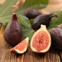 """Fig Trees 4 Violette de Bordeaux Fruits Live Tree Four Plants Garden 2"""" Pot"""