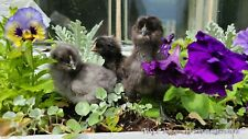 12 + Fresh Fertile Chicken Hatching Eggs - Rare Breeds Mix  AYAM CEMANI