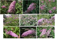 Butterfly Bush * Pink Delight *Sweet Smelling Butterfly Bush Shrub 100 Seeds