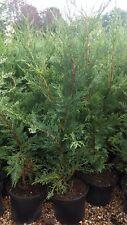 GREEN LEYLANDII HEDGING CONIFER PLANTS 2.5-3 FOOT 1 LT POT HARDY EVERGREEN TREES