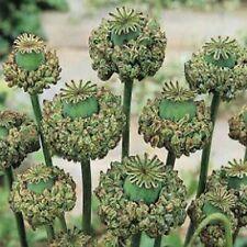 Peony Poppy- (Papaver Somniferum) - Hens & Chicks - 100 seeds