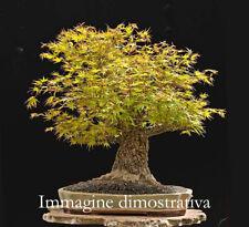 Acer palmatum Arakawa vaso 0,9 Lt. adatto per bonsai