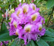 Rhododendron Edwin O Weber  - #3 Container Size Plant - Hardy to -10