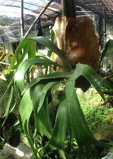 Staghorn Fern (Platycerium bifurcatum x P.hillii) Hybrids = 3,000 - 4,000 spore