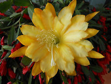 Epiphyllum Orchid Cactus Going-Bananas- Fragrant