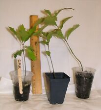 Oak Starter Tree For Bonsai, Great For Containers, Indoors