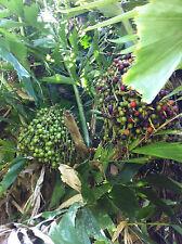 PALM TREE SEEDS Caryota mitis or Fishtail Palm 25 seeds fresh off tree