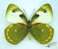 vrai papillon Delias apoensis SETx1 Philippines taxidermie Épinglé papillons art