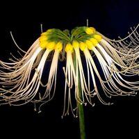 Amazing, rare Eucrosia mirabilis! - Endangered Amaryllis relative
