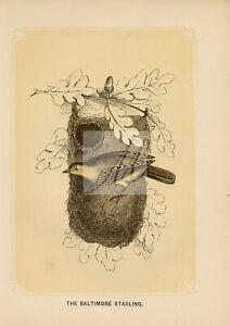 ANTIQUE Woodblock Natural History Print - The Baltimore Starling #E771