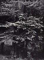 1959 Vintage ANSEL ADAMS Yosemite Dogwood Blossoms Landscape Photo Art 12X16