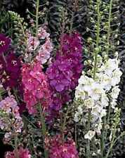 7 X Plug Plants Verbascum 'Phoeniceum' Hybrids Mixed Perennial Garden