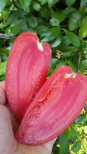 5+ graines de tomate Coréen Long (Korean Long) tomato seeds méth.bio